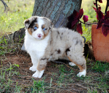 Circle M Aussies - Standard Australians Shepherds and Aussie Pups